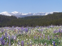 Big Horn Mountain Meadow