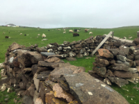 sheep-and-wall